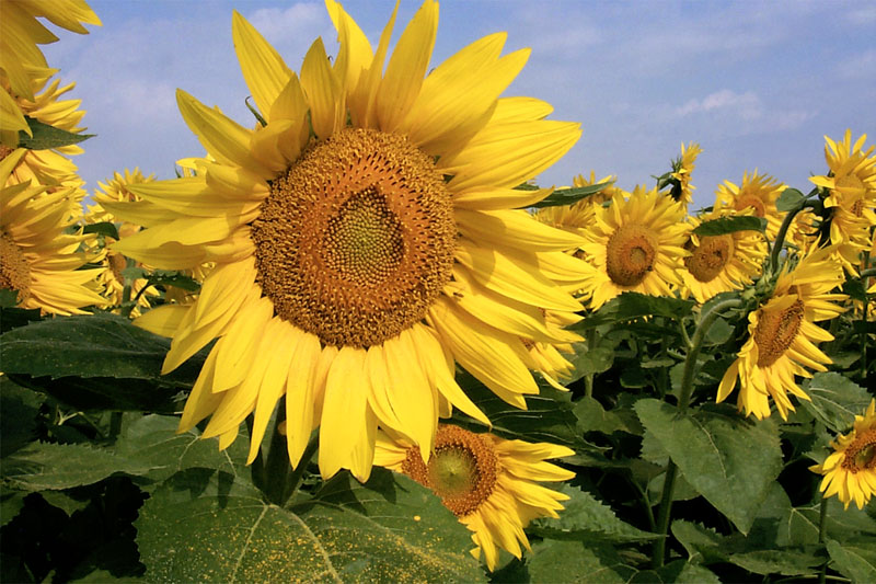 Glorious sunflowers