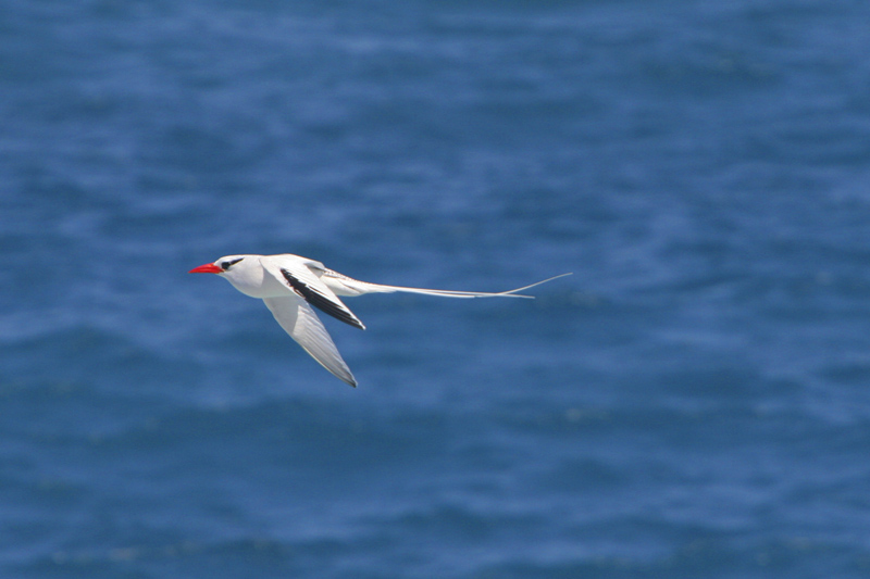 A Red-billed Tropicbird flys by the cliffs of Punta Suarez on Espanola Island.