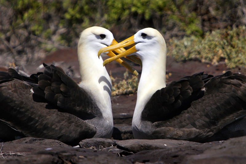 Waved Albatross are endemic to the Galapagos, more specifically to Esmeralda Island where they can be seen gliding aloft taking advantage of their seven to eight foot wingspans.