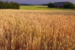 Golden fields of summer wheat characterize the July landscape in Latvia.