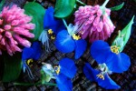 Blue_and_purple_flowers_copy