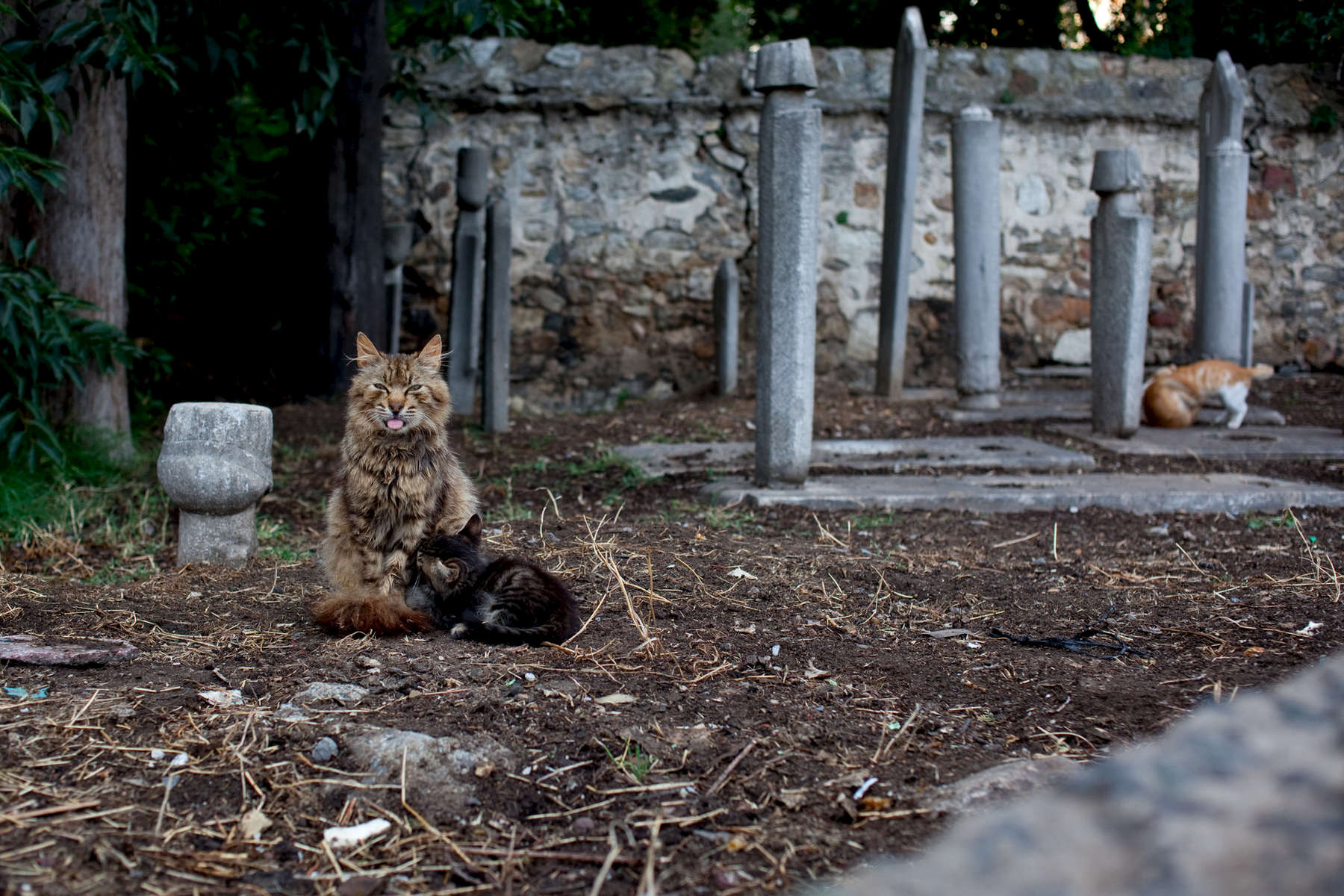 A mother cat nurses one of her kittens in an old cemetery in Kadiköy.