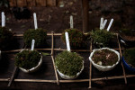Moss samples grow at the Gio-ji, a Shingon Buddhism nunnery near Kyoto.