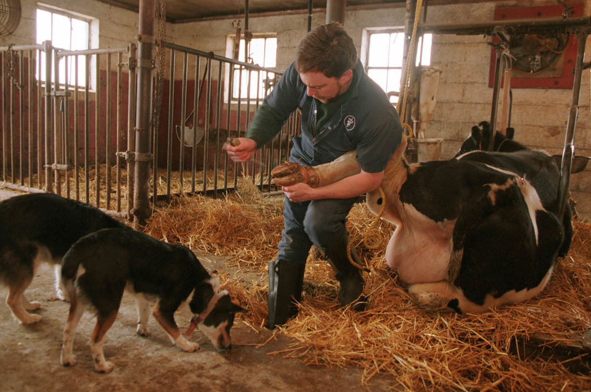 A veternarian trims a cow's hoof at a dairy farm in Lopatcong, Warren County, New Jersey