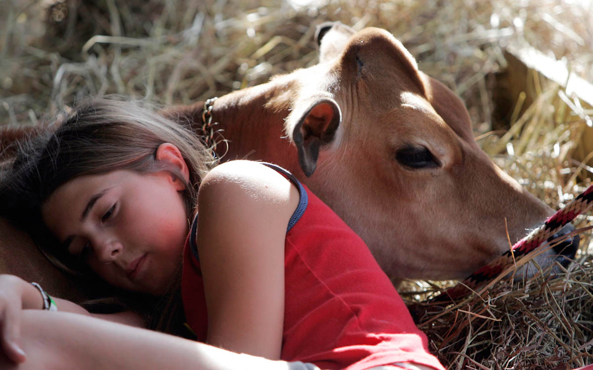 A young girl rests on one of her Jersey calfs in the cow barn at the Hunterdon County 4-H Fair in East Amwell Township, New Jersey