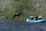 Cow Moose and twin calfs along the Big Hole River.  The wildlife is closer than you think.