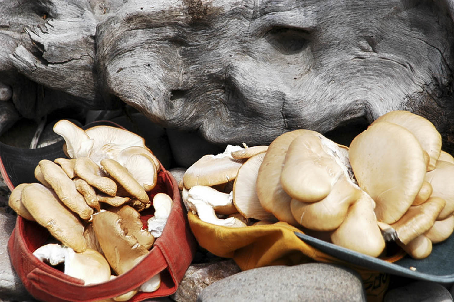 Oyster mushrooms are dlectable and live along river in SW Montana.
