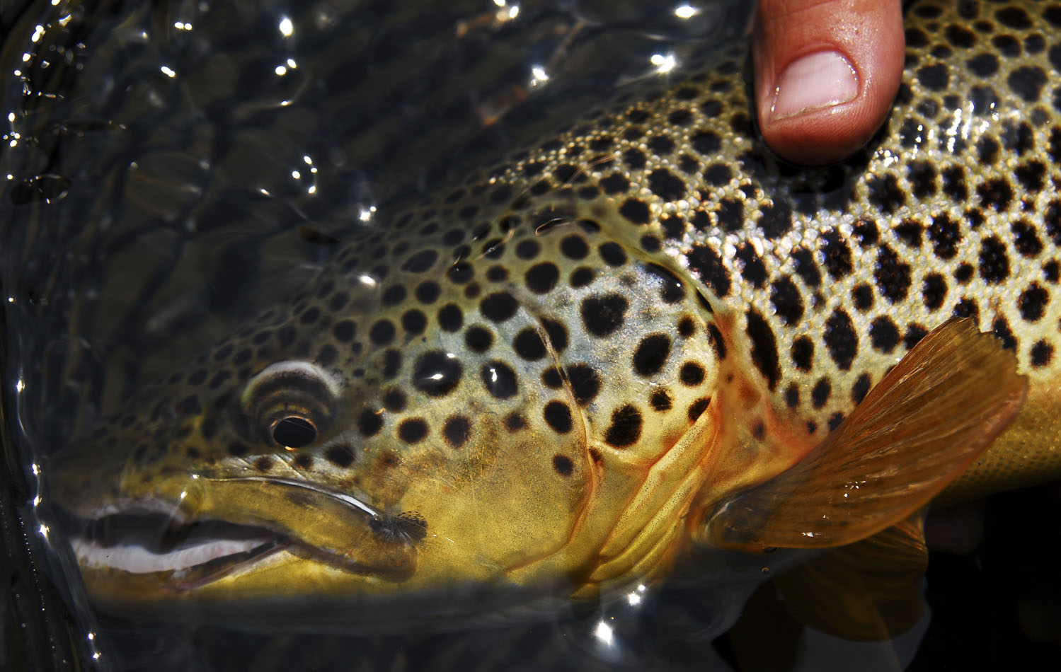 Big brown trout that live in the Beaverhead River love little dries.