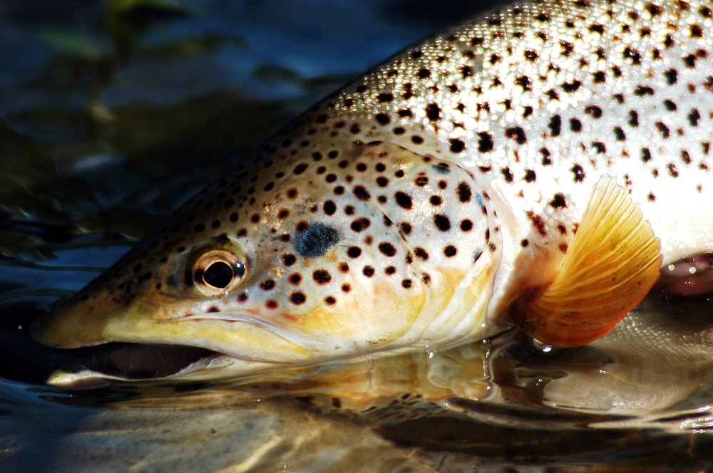 A face only an angler could truly love, what a brown!