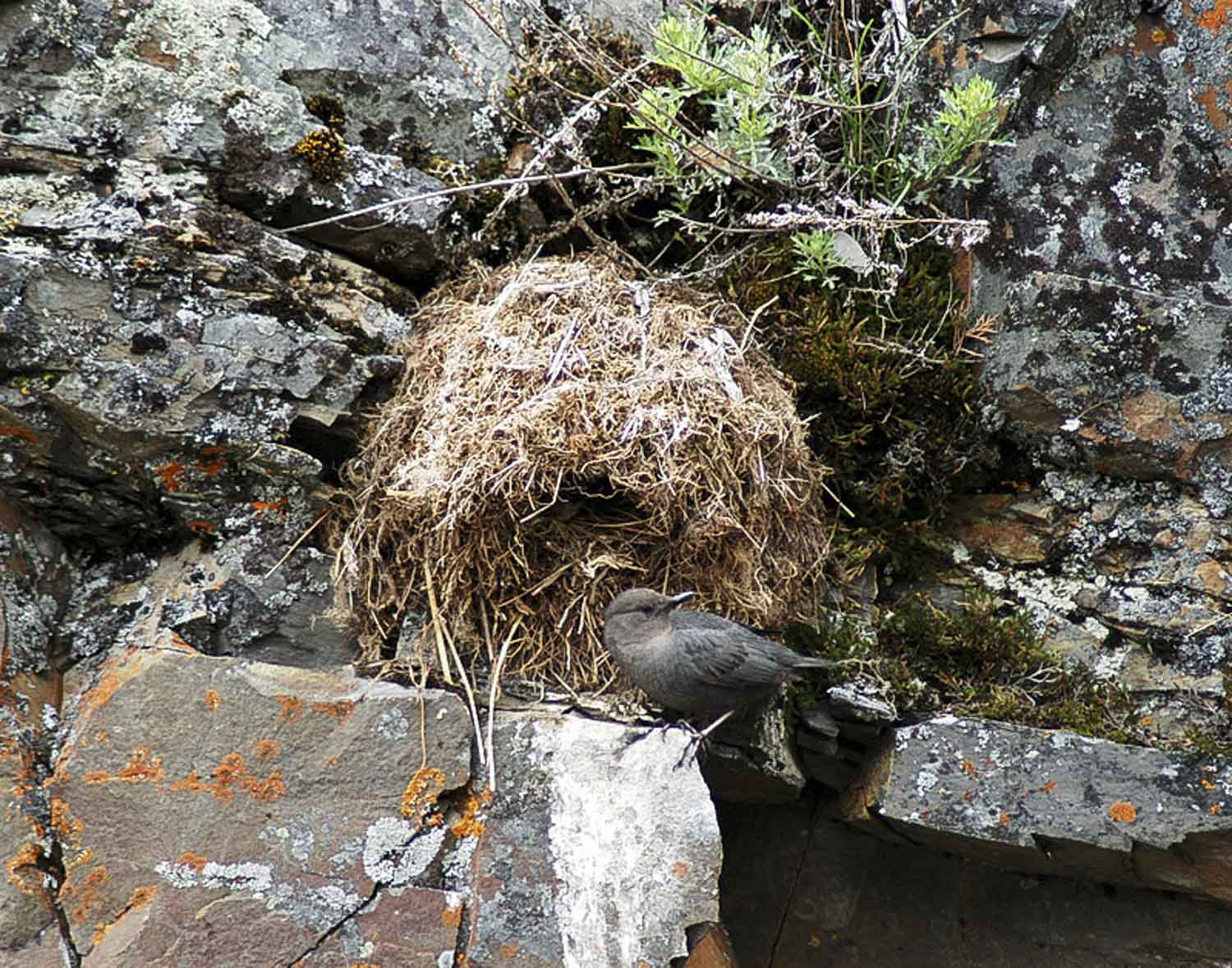 One of our favorite birds that live along the river is the Ozel, or dipper, here is one at the nest, rately seen, and only if you look carefully.