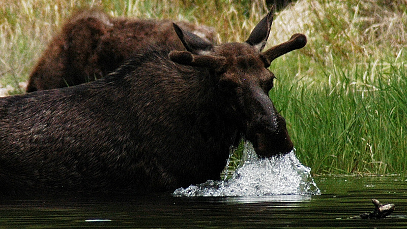 Bull Moose in Rock Creek having lunch.  Close quarters with the local wildlife.  How about some salad!