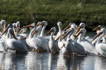 White Pelicans resting on the MIssouri river, beautiful birds on a legendary water way.