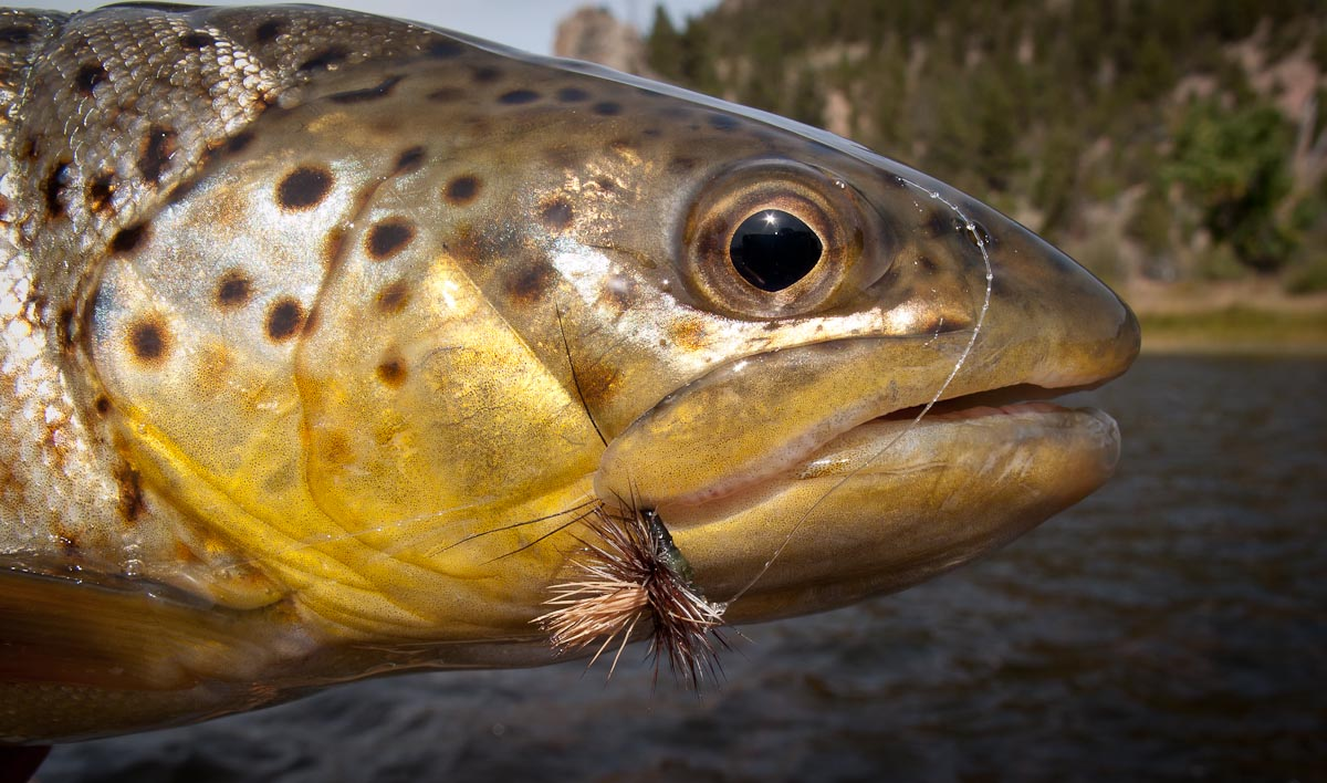 A nice brown trout caught on a dry fly while fly fishing at the Complete Fly Fisher in Montana.