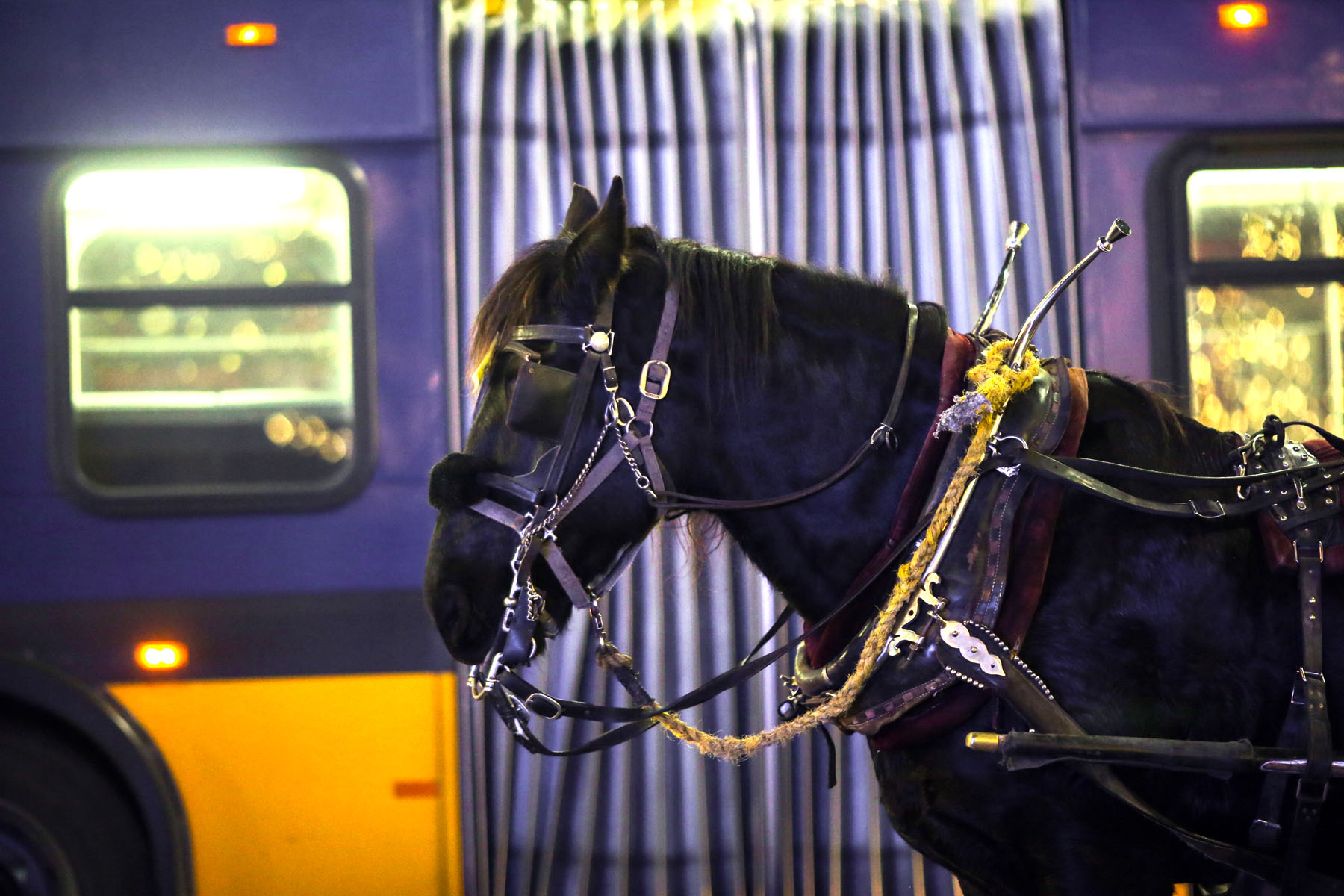 Amos, an 11 year-old Percheron draft horse wearing blinders to block his vision, gets nervous around buses but doesn't mind other city noises according to his owner Steve Beckmann of Sealth Horse Carriages in Seattle, WA on December 9, 2017. Beckmann says he was the first horse and carriage business in Seattle and now, 42 years later, he is the only one left. (© Karen Ducey)