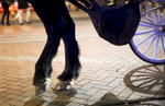 Amos, an 11 year-old Percheron draft horse sports horse shoes and pads made of rubber and steel while working the city streets for Steve Beckmann of Sealth Horse Carriages in Seattle, WA on December 17, 2017. (© Karen Ducey)