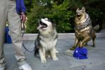 animals-ducey-husky