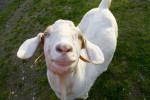 animals-ducey-lamb-pasados