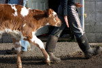 Eva, a one day old calf, follows Faith Estrella, 11, at the Estrella Family Creamery in Montesano, Wash.  on November 4, 2010.  The family owns 30-35 cows and each one has a name. The Food and Drug Administration ordered the Estrella Family Creamery in Montesano,Wash.  to stop processing cheeses after it found listeria bacteria on some of the cheeses this year.  The family says they have made many renovations on the farm and the bacteria is only found on the soft cheese, not everything.  They believe they should be allowed to resume making cheese and sell the hard cheeses they have already made at the facility.  The creamery is one of Washington's most famous artisan cheesemakers.  (photo credit Karen Ducey)