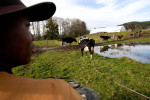 Ernest Estrella, 16, herds cattle from the pasture to the barn to get milked at the Estrella Family Creamery in Montesano,Wash.  on November 4, 2010.  The Food and Drug Administration ordered the Estrella Family Creamery in Montesano,Wash.  to stop processing cheeses after it found listeria bacteria on some of the cheeses this year.  The family says they have made many renovations on the farm and the bacteria is only found on the soft cheese, not everything.  They believe they should be allowed to resume making cheese and sell the hard cheeses they have already made at the facility.  The creamery is one of Washington's most famous artisan cheesemakers.  (photo credit Karen Ducey)