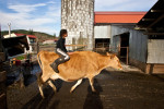 Faith Estrella, 11 rides a cow named Lover into the barn as it comes in from pasture at the Estrella Family Creamery in Montesano,Wash.  on November 4, 2010.  Every cow has a name on the farm.  The Food and Drug Administration ordered the Estrella Family Creamery in Montesano,Wash.  to stop processing cheeses after it found listeria bacteria on some of the cheeses this year.  The family says they have made many renovations on the farm and the bacteria is only found on the soft cheese, not everything.  They believe they should be allowed to resume making cheese and sell the hard cheeses they have already made at the facility.  The creamery is one of Washington's most famous artisan cheesemakers.  (photo credit Karen Ducey)