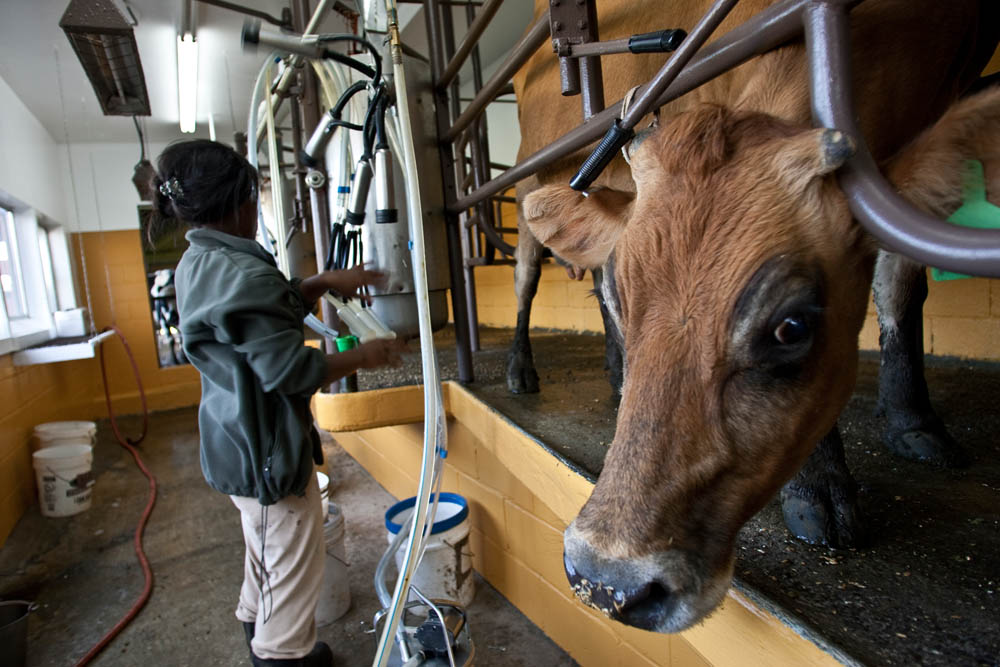 A cow named Lovey (CQ) is being milked at the Estrella Family Creamery in Montesano,Wash.  on November 4, 2010.  Every cow has a name on the farm. The Food and Drug Administration ordered the Estrella Family Creamery in Montesano,Wash.  to stop processing cheeses after it found listeria bacteria on some of the cheeses this year.  The family says they have made many renovations on the farm and the bacteria is only found on the soft cheese, not everything.  They believe they should be allowed to resume making cheese and sell the hard cheeses they have already made at the facility.  The creamery is one of Washington's most famous artisan cheesemakers.  (photo credit Karen Ducey)