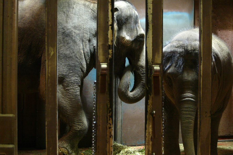 Zoo, Chai, a 27year old Asian elephant from Thailand and her baby Huntsa,  hang out in a cage shortly after Chai went through an artificial insemination procedure. Scientisists from Germany were here to perform it.