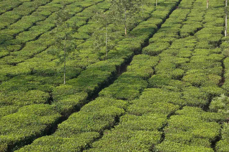 Wayanad India  city images : WAYANAD TEA PLANTATION: KERALA: INDIA: Campoamor Photography