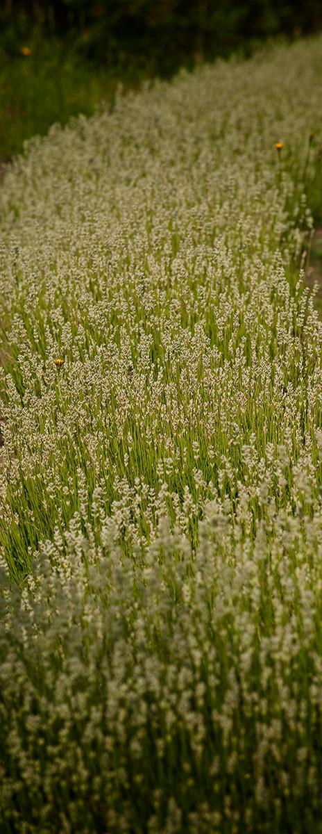 Lavender Row