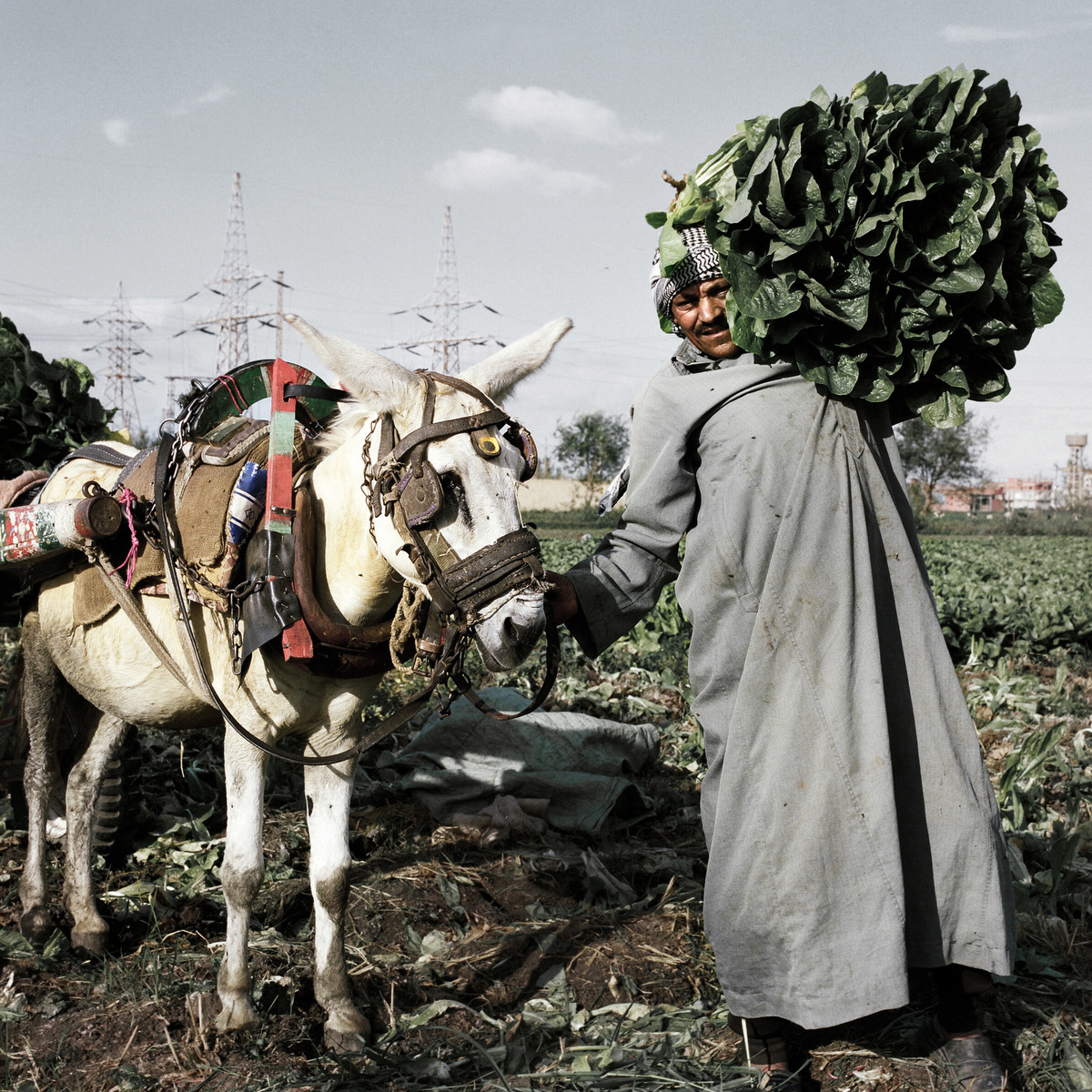 A farmer gathers lettus fresh from a field.