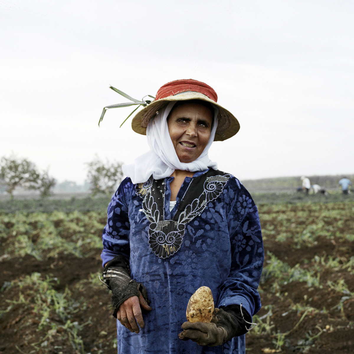 A female worker picks potatoes from a field. She works a day rate of 25 Egyptian pounds (US$3.6).