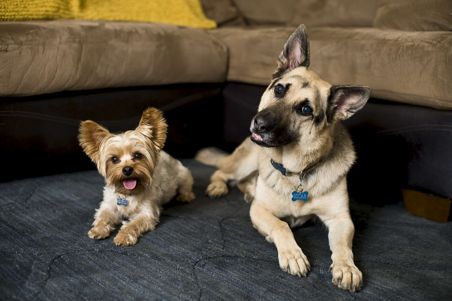German Shepherd, Oscar Johnsen, 9, lays next to his brother Finn Johnsen, 1, Yorkshire Terrier, from Corona, Calif., on Tuesday, November, 8, 2016 with smiles as they find out they will soon be big brothers for their owners twins due in June 2017.