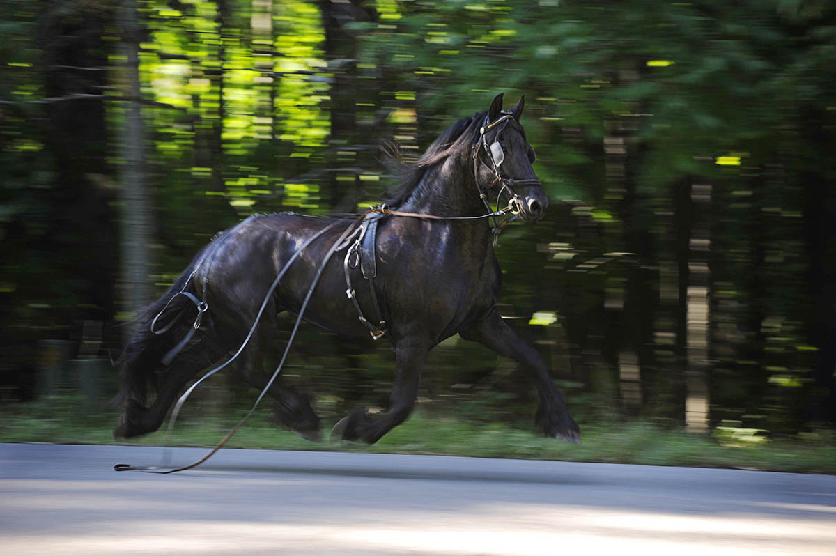 Kira, a seven-year-old fresian horse is lost and running back and forth around Kelly Lake trying to find anything familiar to her after being spooked during ground training with her new owner, Karen Angus. The Angus' family live about ten miles away from Suring, Wisc., where Kira found her momentum to begin slowing down. The loud sound of a large bucket hitting the ground caused Kira to break loose.