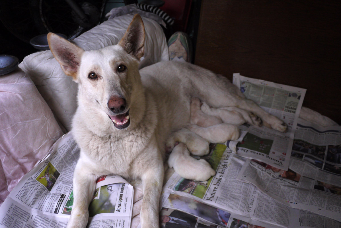 August 20 - White German Shepard with her 3 Day Old Pups, Limerick, IrelandPost a Comment
