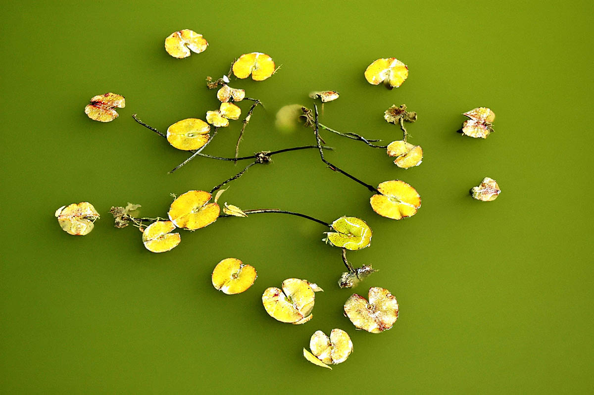 Lilypond, Rajasthan, India