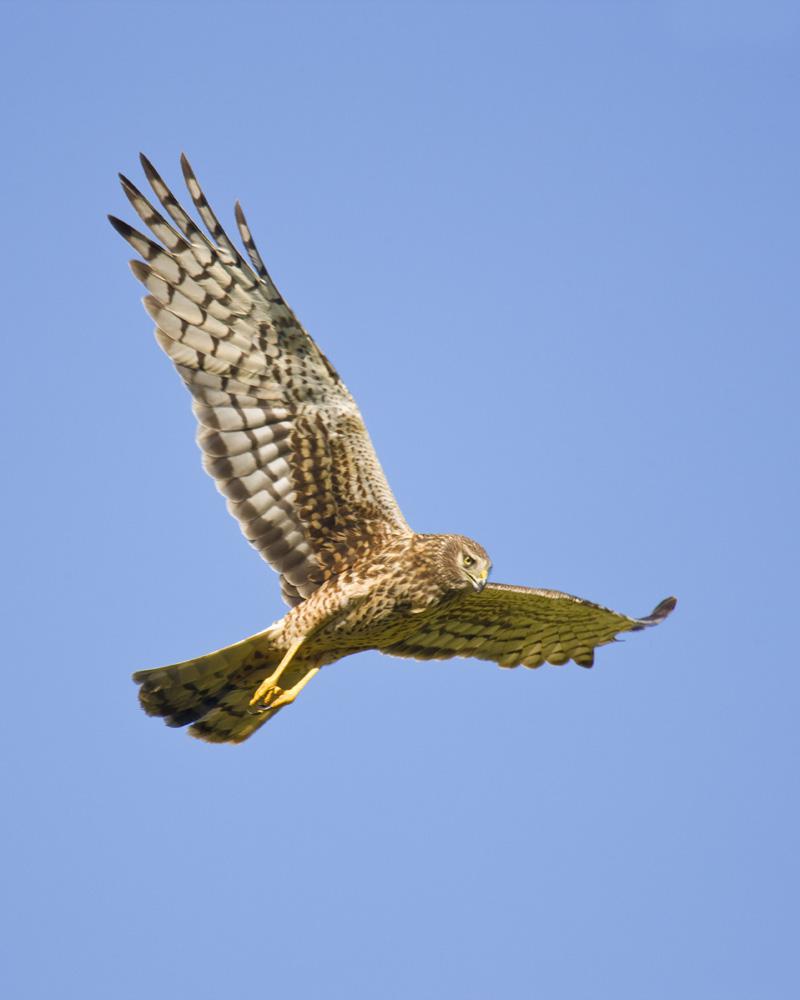 Northern Harrier Female: Birds of Prey: Baja Birds