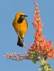 Calandria zapotera,Naranjero