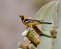 Calandria zapotera, Naranjero