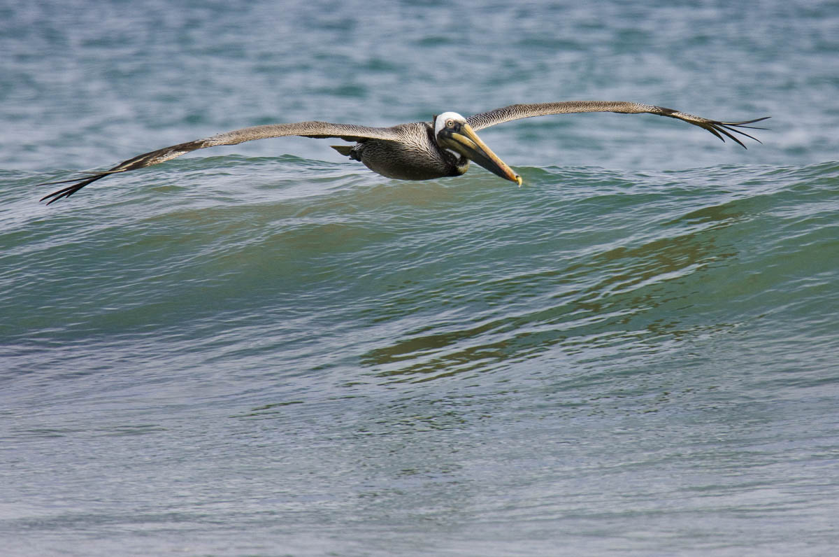 Pelicano morenoThe ultimate wind surfer