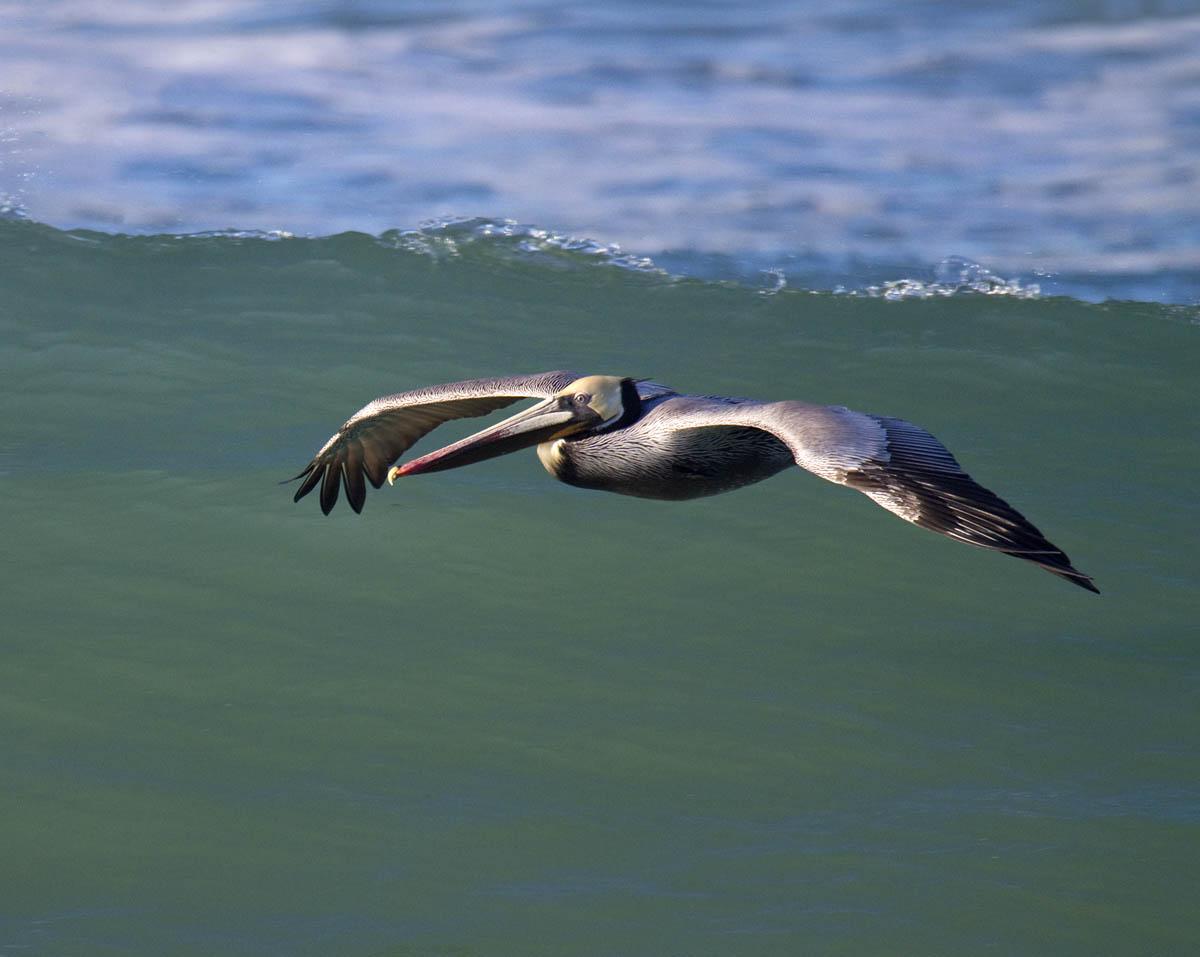 Pelicano moreno