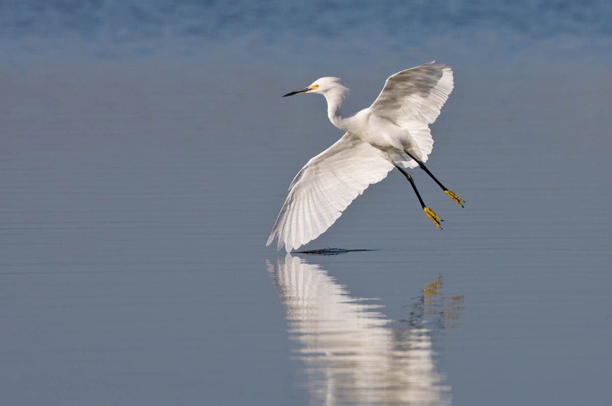 Snowy Egret Landing Sea And Shore Baja Birds