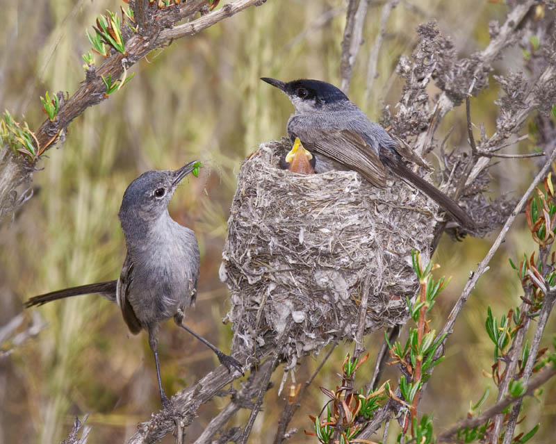 Perlita californicaMale and females share nest duties