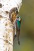 Golondrina verdeSierra San Pedro Martir