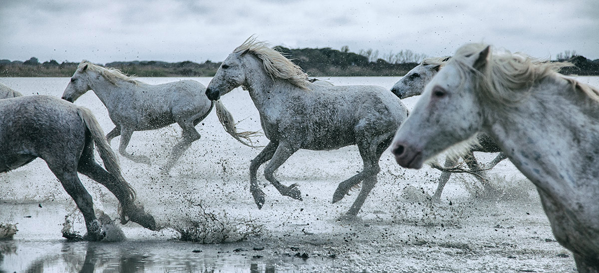The White Horses of the Camargue running in the water in the South of France