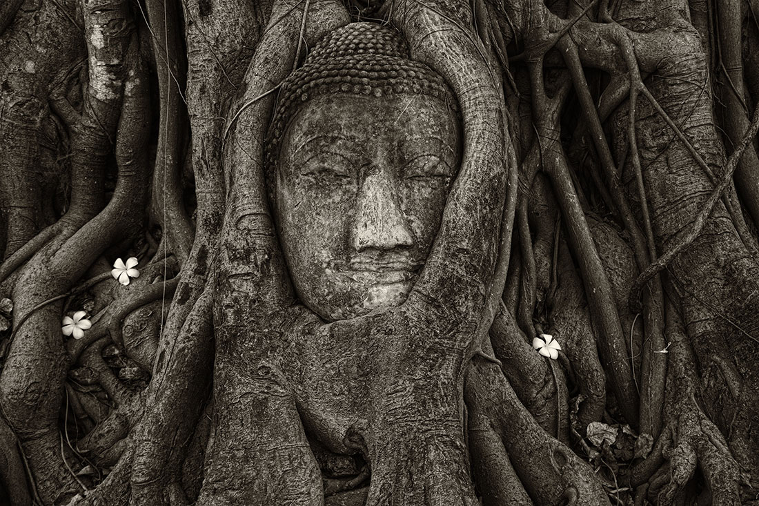 The Ayuthaya tree in Thailand