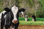 A holstein cow at a North Carolina dairy spends much of the day outdoors.