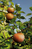 These Keener apples growing in North Carolina are from one of over 500 old southern heirloom varieties.