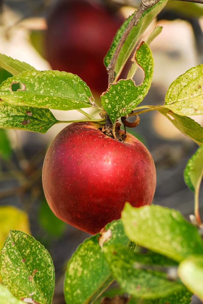 These Arkansas Black apples grown by apple specialist David Vernon in North Carolina represent one of over 500 old southern heirloom varieties.