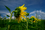 This sunflower field is between Canandaigua and Seneca Lakes, in Ontario County, NY.