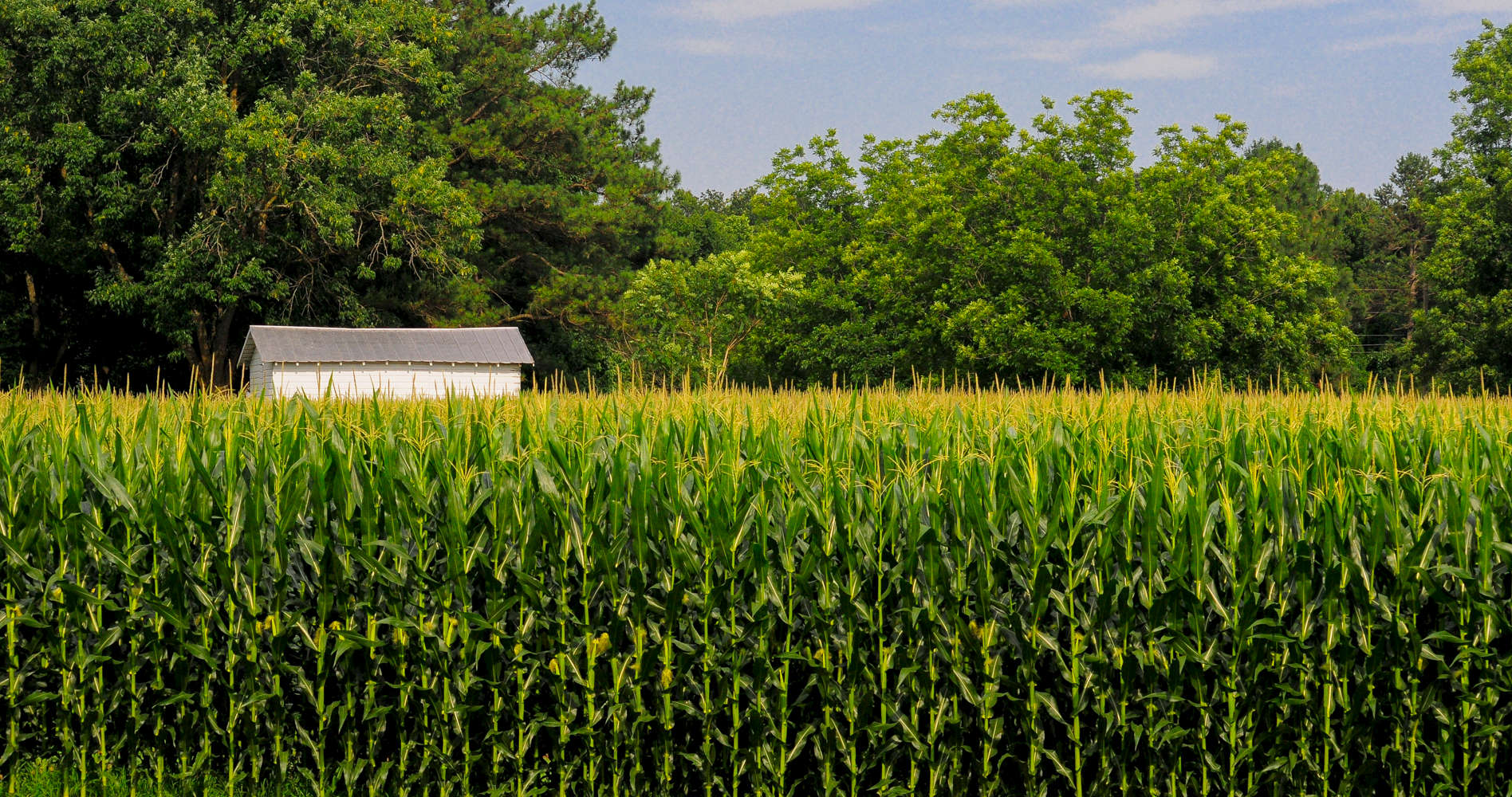 Tall Corn, a Shed and Woods in North CarolinaA patch of seven-foot corn and an old white shed fill a barnyard in eastern North Carolina.