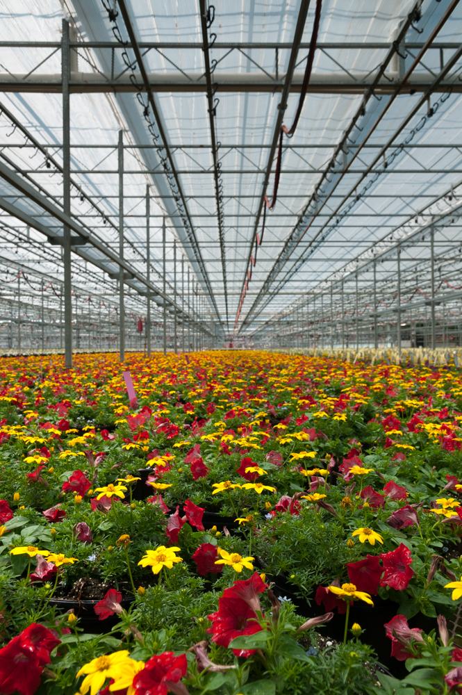 Adjustable Glass and Fabric Roof Panels on GreenhouseThis single-site heated greenhouse is 162 acres and is the largest in the U.S.